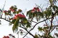 Blossoming tropical acacia albizia julibrissin in clear day on blue Royalty Free Stock Images