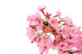 Blossoming twig on white background photo of with pink flowers Stock Images