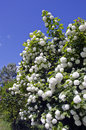Blossoming viburnum viburnum opulus bush in garden beautiful Stock Photos