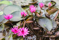 Blossoming water lily in the lake Royalty Free Stock Photo