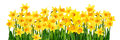 Blossoming yellow daffodils isolated on white Royalty Free Stock Photo