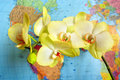Blossoming yellow orchid near the world's map Royalty Free Stock Photo