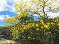 Blossoming yellow trees