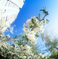 Blossoms against blue sky. Royalty Free Stock Images