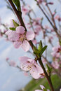 Blossoms apricot Royalty Free Stock Photos