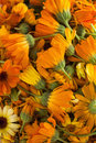 Blossoms of calendulas (Calendula officinalis) Royalty Free Stock Photo