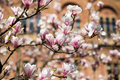 Blossoms of a magnolia tree in spring garden Royalty Free Stock Photo