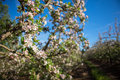 Blossoms On A Pear Tree