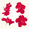 Blossoms red rhododendrons red set three vintage vector