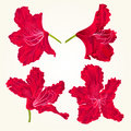 Blossoms red rhododendrons red set two vintage vector