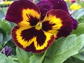 Blotch pansy Royalty Free Stock Photo