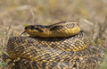 Blotched snake close up of a large elaphe sauromates Stock Photo