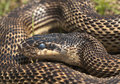 Blotched snake portrait of a large elaphe sauromates Royalty Free Stock Photography