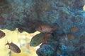 Blotcheye Soldierfish Royalty Free Stock Photo
