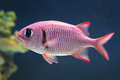 Blotcheye soldierfish (Myripristis berndti) Royalty Free Stock Photo
