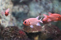 Blotcheye soldierfish Royalty Free Stock Photo