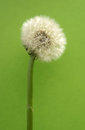 Blow ball the close up of a ripe dandelion blossom Royalty Free Stock Photos