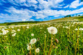 Blow balls dandelions in meadow with blue sky and white clouds spring landscape full of background visible Royalty Free Stock Images