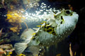 Blow fish tetraodontidae swim underwater in the ocean Royalty Free Stock Image