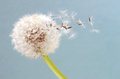 Blowball in close up Royalty Free Stock Photo
