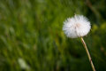 Blowball dandelion with green background Royalty Free Stock Images