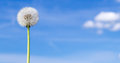 Blowball in front of blue sky Royalty Free Stock Photography
