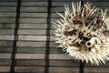 Blowfish. Royalty Free Stock Images