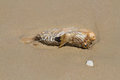 Blowfish on the beach dakar senegal Royalty Free Stock Photo