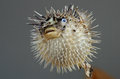 Blowfish or diodon holocanthus Royalty Free Stock Photo