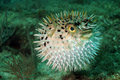 Blowfish or puffer fish in ocean Royalty Free Stock Photo
