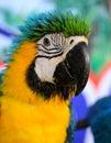 Blått och guling ara munkhättaararaunaen Fotografering för Bildbyråer