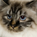 Blu-tabby-point Birman (18 mon Royalty Free Stock Photography