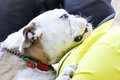 Blubber Bulldog,weep and sniffle bulldog Royalty Free Stock Photo