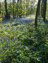 Blubell wood english bluebell in april Royalty Free Stock Photography