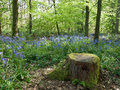 Blubell wood english bluebell woodland landscape scene Stock Images