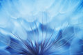 Blue abstract dandelion flower background closeup with soft foc Royalty Free Stock Images
