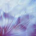 Blue abstract dandelion flower background, closeup with soft foc Royalty Free Stock Photo