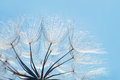 Blue abstract dandelion flower background, closeup with soft focus Royalty Free Stock Photo