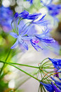 Blue Agapanthus African Lily Flower Royalty Free Stock Photo