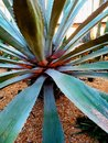 Blue agave cactus plant Royalty Free Stock Photo