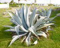 Blue Agave Plant Royalty Free Stock Photo