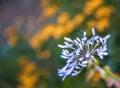 Blue Alium Flower