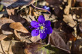 Blue anemone growing old leaves forest early spring Royalty Free Stock Image