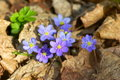 Blue anemone grows among the brown leaves in the forest Royalty Free Stock Images