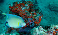 Blue Angelfish - Coral Reef Stock Photos