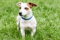 Blue anti tick and flea collar on cute dog Royalty Free Stock Photo
