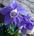 Blue Aquilegia Royalty Free Stock Image