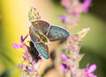 Blue argus butterfly plebejus on a flower Royalty Free Stock Photo