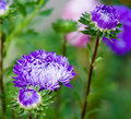 Blue asters in nature close up Stock Photo