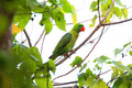 Blue-backed Parrot Royalty Free Stock Photo